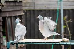 21 April 2017 (17) (AJ Yakstrangler) Tags: yakstrangler pigeon pigeons