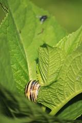 IMG_1062_1 (Pablo Alvarez Corredera) Tags: vega barros langreo caracol molusco desenfoque zoom practica ejercicio verde verdes hoja hojas rural mundo rustico