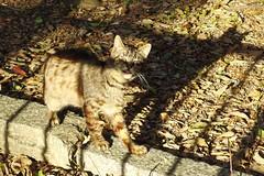 Today's Cat@2017-04-23 (masatsu) Tags: cat thebiggestgroupwithonlycats catspotting pentax mx1