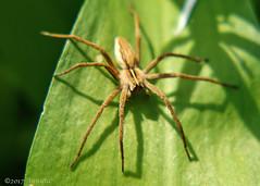 Spider (♥ Annieta ) Tags: annieta april 2017 sony a6000 nederland netherlands paysbas krimpenerwaard tuin garden jardin insect bug insekt spin spider all rights allrightsreserved usingthispicturewithoutpermissionisillegal macro