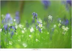 De hyacinten van het Hallerbos en de akkerhoornbloem  (5D326507) (nandOOnline) Tags: bomen belgi boom bos lente zon halle bloemen zonlicht bloem hallerbos lelie hyacint tranendal hyacinthoidesnonscripta bloeien cerastiumarvense beukenbos boshyacint akkerhoornbloem beukenbomen wildehyacint vlaamsgewest
