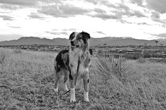 307/365 Cap (BlueDog_1199) Tags: blue dog canon puppy shepherd australian days cap captain 365 aussie australianshepherd merle
