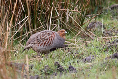 Partridge grey Durham 7.5.2014 (1) (Margaret the Novice) Tags: birdwatcher partridges