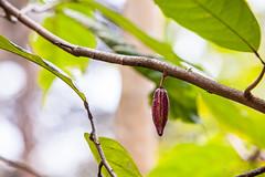Cocoa Trees 4854 (Ursula in Aus) Tags: fern sumatra indonesia unesco cocoa bukitlawang gunungleusernationalpark earthasia