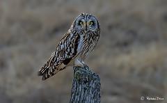 Brandugla við Blönduós (Robbi Dan) Tags: owl brandugla