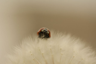 Dandelion series with ladybird