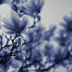 blue magnolia | Spring 2014 | 16:9 | Olympus OM-D E-M5 | Olympus 75mm F1.8 thumbnail