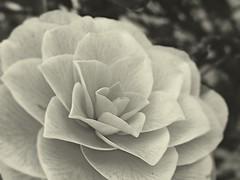 Not a rose? Then what? (Stefan Semerdjiev) Tags: flower macro greyscale