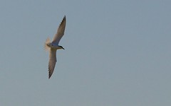 Sterne hansel  IMG_2657 (6franc6) Tags: 30 languedoc gard 2014 milhaud 6franc6