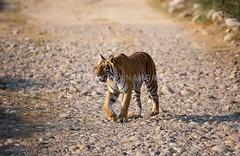 Adult Tigress (amodha k) Tags: flickrbigcats