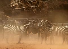 Decisions in the dust! (Rainbirder) Tags: kenya maasaimara grantszebra plainszebra equusquaggaboehmi rainbirder