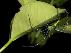 Malagasy green lynx spider (Peucetia madagascariensis), Vohimana reserve, Madagascar