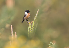 Stonechat (Markp33) Tags: