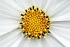 stars. (Maria Dattola) Tags: copyright flower macro fleur closeup canon eos © fiore asteraceae cosmea 2014 60d mariadattola cosmosbipinnatuspurity 100mmlensmacro
