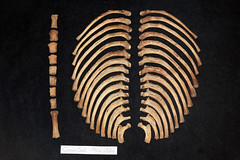 Common Seal Skeleton (JRochester) Tags: skeleton seal ribs bone common sternum phoca vitulina osteology