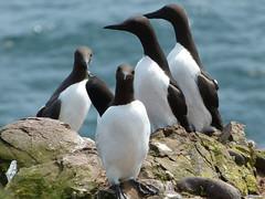 Hello to you too! (chdphd) Tags: aberdeenshire stonehaven guillemot rspb uriaaalge kincardineshire fowlsheugh