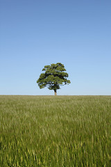 Lone Tree (JW.Andrews) Tags: blue sky tree landscape landscapes corn cornfield lonely warwick warwickshire lonelytree
