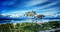 Pandanus Palm on the beach (Aussie~mobs) Tags: ocean beach pacific surfersparadise goldcoast pandanus