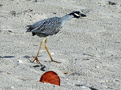 Night Heron with prey in sight (Singer Island Images) Tags: heron florida singerisland lowcontrast infocus highquality mediumquality singerislandimages thomasaccardi nightyellowheron