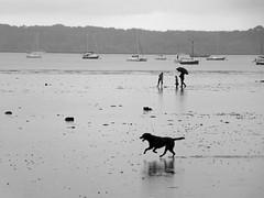 getting wet  146/365 (auroradawn61) Tags: uk sea england blackandwhite dog monochrome rain umbrella whatevertheweather coast sand digging may dorset raining poole bankholidayweekend ukweather 365days explored poolebay 365daysproject monomonday lumixtz25 365daysin2014