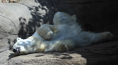 Afternoon Nap (margo2017) Tags: bear philadelphia zoo polar