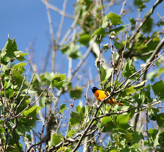Baltimore Oriole (J.J.Folk Photography) Tags: water creek westvirginia springs swamp watershed wetlands charlestown potomac marsh shenandoah freshwater marl jeffersoncounty chesapeakewatershed altonamarsh evittsrun