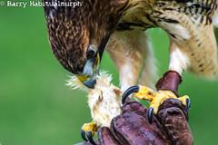 IMG_9528 (Habitualmurph) Tags: ireland birds canon hawk owl falcon birdsofprey kildare southkildarephotography canonreblet3