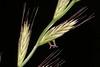 Lolium perenne (Pterodactylus69) Tags: flower fleur grass flor gras blüte poaceae inflorescense anther granne anthere ähre infloreszenz lolch weidelgras raygras ährchen
