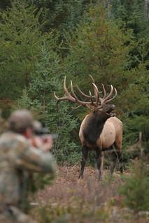Quebec Elk & Red Stag Hunt 25