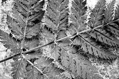 Fern on Limestone (Trevor King 66) Tags: blackandwhite bw fern nature leaves stem nikon kitlens diagonal foliage limestone d3100