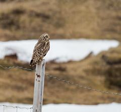 Short-eared owl (Kjell75) Tags: owl finnmark vardø varanger shorteared svartnes jordugle