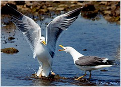 Hands Up!!! (lukiassaikul) Tags: seagulls nature birds animals westwales fighting mayhem wildanimals skomerisland territorialdispute greatblackbackedgulls wildlifephotography birdfight largeseagulls waleswildlifetrusts