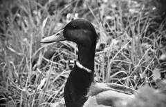 (Angela Schlafmtze) Tags: park parco die natur natura bn e ente volkspark wald bianco nero animale tier bosco jungfernheide anatra