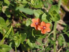 Orangene miniatur Wiesenblume (Björn Ritzmann) Tags: orange plant flower miniature pflanze meadow meadows olympus blume blüte omd miniatur wiesenblume em10
