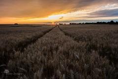 Les nouveaux horizons (photosenvrac) Tags: nature soleil photos champs culture ciel nuage paysage chemin feu couchdesoleil beauce bl avoine thierryduchamp sillone