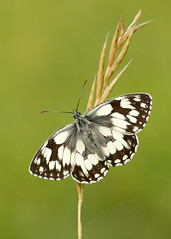 Marbled White Melanargia galathea (Iain Leach) Tags: butterfly insect image lepidoptera photograph macrophotography nymphalidae melanargiagalathea birdphotography marbledwhite wildlifephotography