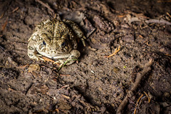 IMG_0028.jpg (Lexi Christensen) Tags: night nebraska wildlife amphibian ne warts toad