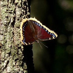 Mourning Cloak (Dendroica cerulea) Tags: summer butterfly insect newjersey nj lepidoptera monroe arthropoda insecta nymphalidae mourningcloak camberwellbeauty nymphalis papilionoidea middlesexcounty nymphalinae nymphalisantiopa ditrysia rhopalocera helmetta nymphalini jamesburgpark jamesburgparkconservationarea