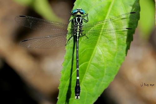 แมลงปอเสือน้อยไทย / Microgomphus thailandica (Asahina,1981)