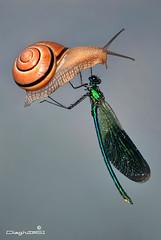 High performance (Dieghito61) Tags: nature smile closeup nikon snail fantasy calopteryxsplendens