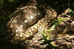 Reticulated Python (Python reticulatus) 036