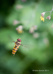 Hoverfly (Rafe Abrook Photography) Tags: motion flower macro garden insect buzz fly flying wings hoverfly beating