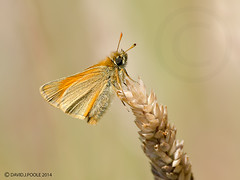 Large Skipper (Crazybittern1) Tags: butterflies insects largeskipper sigma70300mmmacro lancashirewildlifetrust nikond7000 middletonnaturereserve