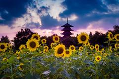 PhoTones Works #5542 (TAKUMA KIMURA) Tags: japan landscape temple scenery natural sunflower     millet okayama kimura  rd1    takuma   photones