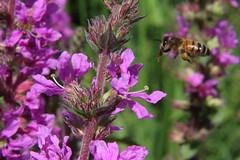 Fly-bee (darkroomdenny) Tags: macro canon flight bee diopter