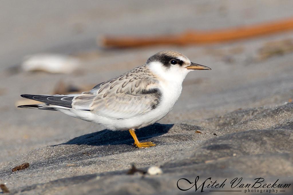 Juvenile Least Tern