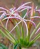 Sand Lily (Crinum buphanoides) (berniedup) Tags: sandlily crinumbuphanoides amaryllidaceae taxonomy:binomial=crinumbuphanoides flower lowersabie kruger
