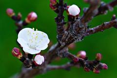 Fiori Rosa Fiori di Pesco - explore #106 (pinomangione) Tags: pinomangione macro pesco flower