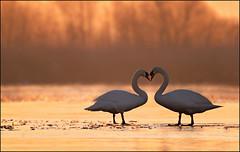 Lente (maartenappel) Tags: watervogels natuur zwanen nederland canon zon op komst lente liefde