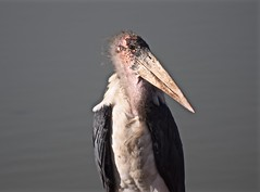"""Mother Said I Was a Cute Little Chick"" (The Spirit of the World) Tags: bird fowl stork nairobinationalpark nairobi kenya eastafrica africa wildlife nature ugly unique safai gamedrive weird portrait"